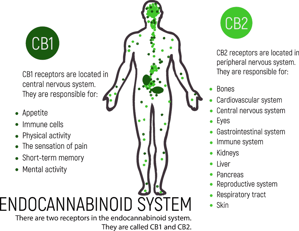 Układ endokannabinoidowy