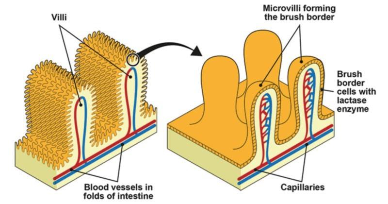 Mikrovilli shēma - gremošanas trakta darba vienība